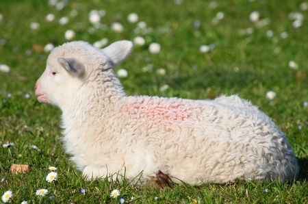 Newborn lamb sitting in the paddock photo