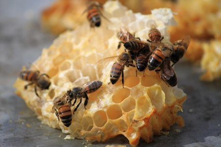 Close up view of bees working on honey cells photo