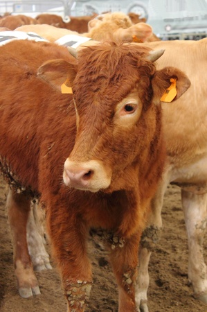 Brown cow in a stable Stock Photo - 13363208