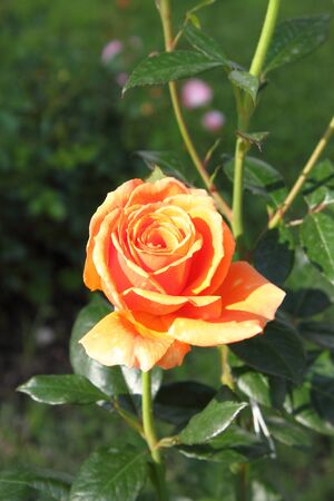 captivation: Closeup view of a beautiful orange rose