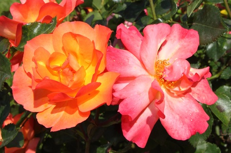 captivation: Closeup view of beautiful orange and pink roses