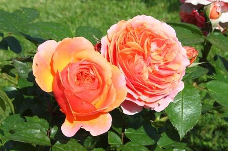captivation: Closeup view of a beautiful orange roses