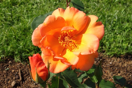 captivation: Closeup view of a beautiful orange rose