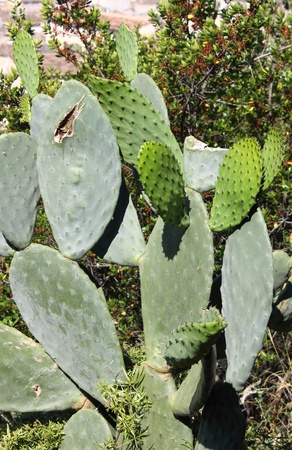 Opuntia ficus indica, also called Nopal, Indian fig opuntia and Prickly Pear Stock Photo - 14154624