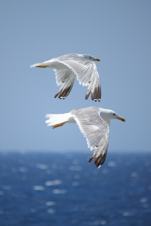 Two flying seagulls at the seacoast photo