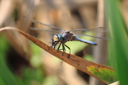 Dragonfly eating a fly on a leaf photo