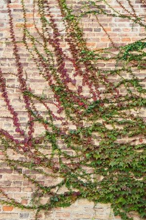 encroach: Green ivy leaves covering a wall