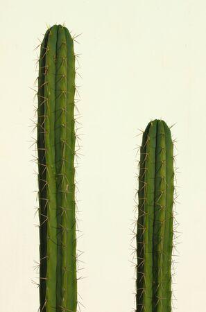 san pedro: San Pedro cactus (Echinopsis pachanoi) isolated on white