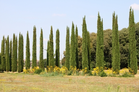 Cypress trees in a classical tuscan landscape