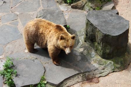 foreleg: Brown bear, standing in an staring pose Stock Photo