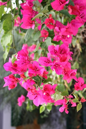 Closeup of pink Bougainvillea flowers photo