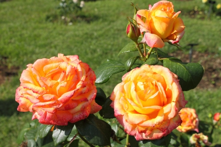 captivation: Closeup view of a beautiful orange roses