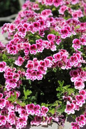 Pink azalea bush in springtime Stock Photo - 17554278