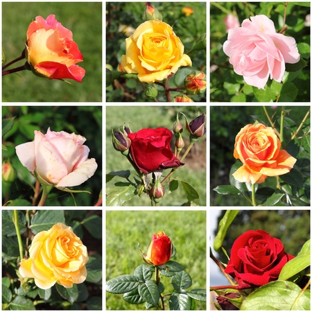 Collage of a variety of beautiful roses photo