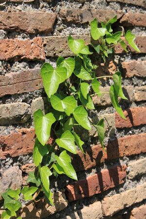 Green ivy leaves growing on an ancient wall photo