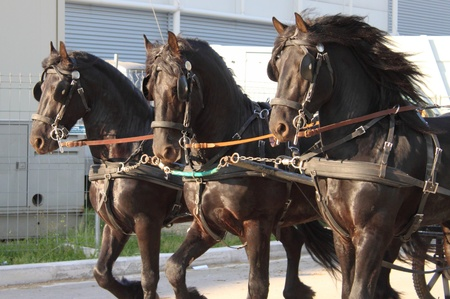 towed: Carriage towed by three black frisian horses