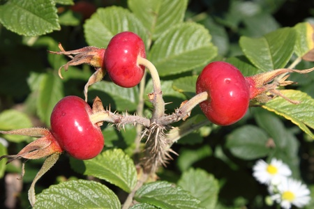 Bush of plump ripening red rosehips Archivio Fotografico