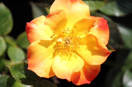 nuances: Yellow dog rose flower with red nuances