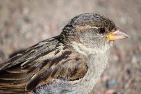 fulvous: Closeup of a sparrow
