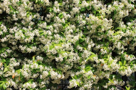jessamine: Closeup vista di un cespuglio di fiori di gelsomino