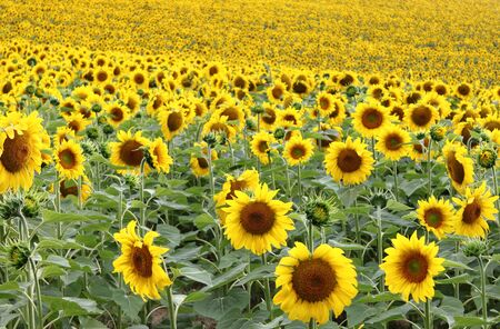 Landscape view of a sunflowers field photo