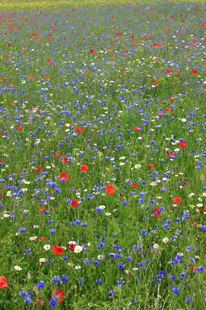 castelluccio di norcia: The great flowering of Castelluccio di Norcia during a sunny summer day