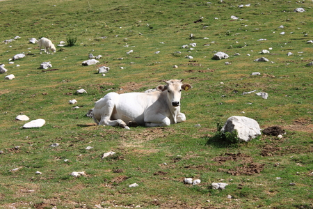 resting: Cow resting on a meadow