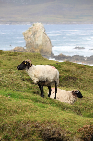 Black head sheeps grazing on a green hill. Achill Island, Ireland Stock Photo