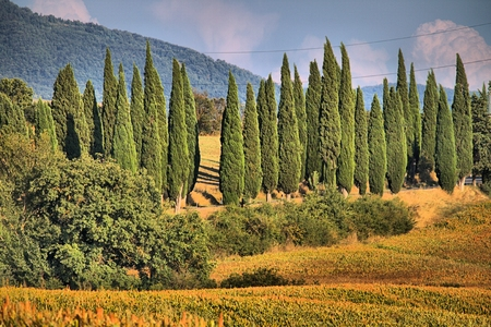 Cypress trees in a classical tuscan landscape - HDR