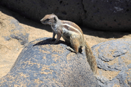 barbary: Barbary Ground Squirrel at Fuerteventura. Canary Islands, Spain