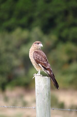 Hawk in the wilderness of Chile