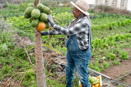 Senior African farmer working in countryside picking up papaya fruits - Farm lifestyle people concept