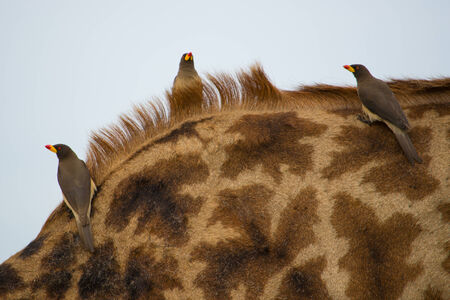 oxpecker: Oxpeckers on the back of a Maasai giraffe in Northern Tanzania