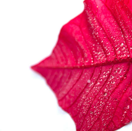 Red poinsettia leaf with drops Stock Photo