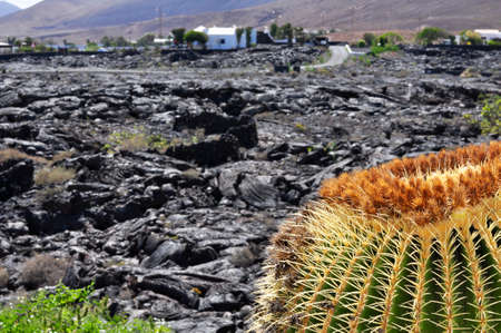 A photo of a giant cactus in a volcanic landscape in Lanzarote, Canary, Spain.