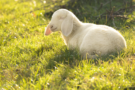 young lamb on summer lights photo