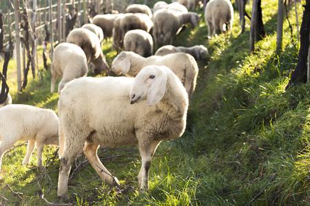 sheep flock on summer lights photo