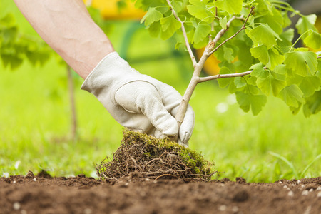 Hand with glove Planting Small Tree with roots in a garden on green background Standard-Bild