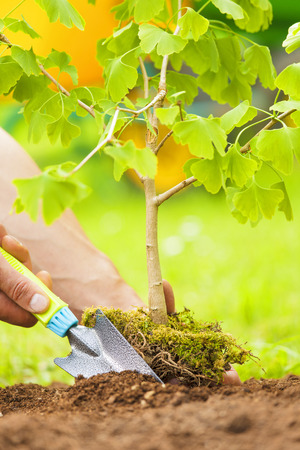 Hand Planting Small Tree with roots in a garden on green background
