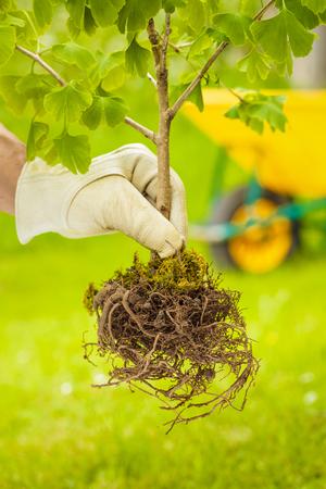 raices de plantas: Mano con guante blanco que sostiene el pequeño árbol con raíces en el fondo verde y carretilla Foto de archivo