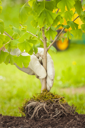 planta con raiz: Mano con guante blanco que sostiene el pequeño árbol con raíces en el fondo verde y carretilla Foto de archivo