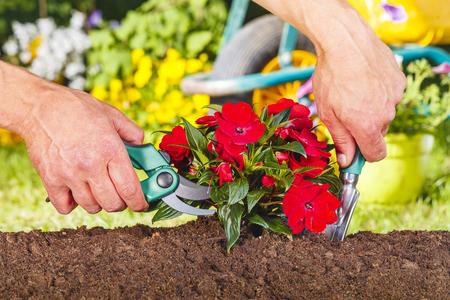 tijeras: las manos del hombre utilizando una tijera y la pala en una planta de flores rojas en el jardín
