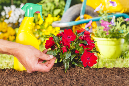 flori culture: Man hand and red flowers plant in the garden on green background with wheelbarrow