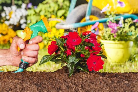 flori culture: Man hand watering red flowers with hose water in the garden Stock Photo