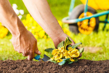 flori culture: man hands planting a yellow flowers plant in the garden