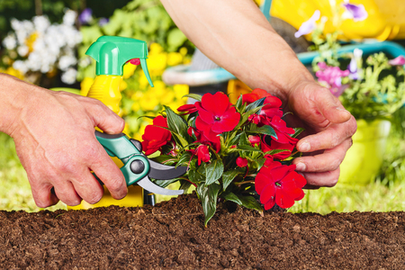 flori culture: man hands using a scissor on a red flowers plant in the garden Stock Photo