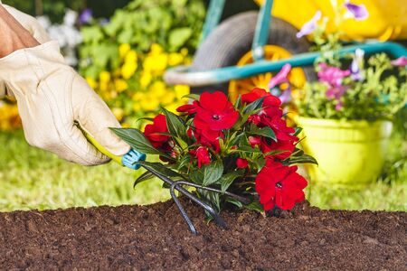 color water: hand with glove using a rake on red flowers plant in the garden