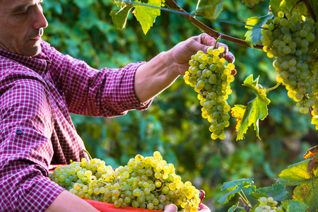 Worker Cutting White Grapes from Vines during Wine Harvest in Italian Vineyard