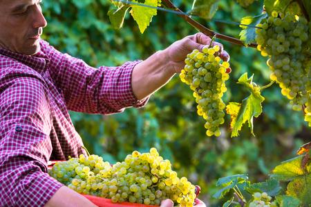 Lavoratore taglio uva bianca da vitigni durante vendemmia in vigneto italiano