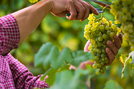Close up of Workers Hands Cutting White Grapes from vines during wine harvest in Italian Vineyard.